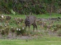 Frithelstock Deer